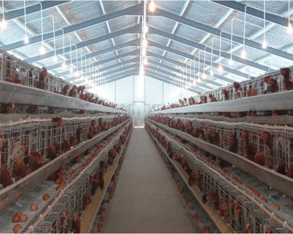 Poultry Farm (Chicken Farm, Cattle Farm)